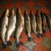 щук наш катер рыбалка охота и отдых рыболовная база Черкасово рыбинское водохранилище 100x100 - зимняя рыбалка и отдых